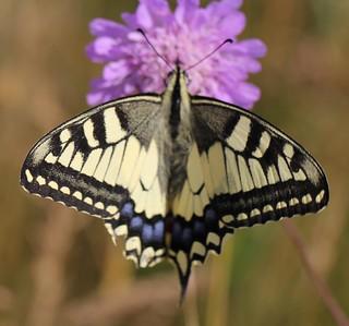 Grand porte-queue (Papilio machaon)