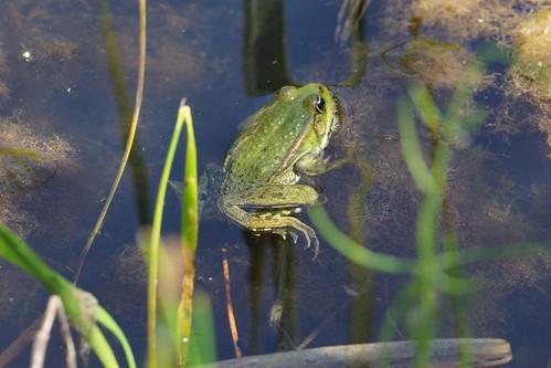 Marsh Frog at Stodmarsh | by duncanmclean372