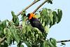 Euplectes gierowii ♂ (Black Bishop) - Isunga, Uganda