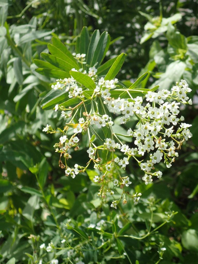 Euphorbia corollata