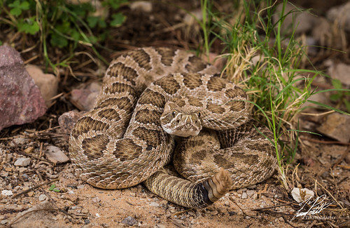 Prarie Rattlesnake | by Frank Portillo