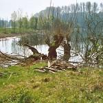 Kopfweiden in der Walsumer Rheinaue