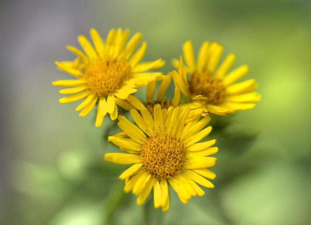 Fiore Giallo 6 Petali.I Fiori Come Li Vedo Io Margherita Selvatica Gialla I Flickr