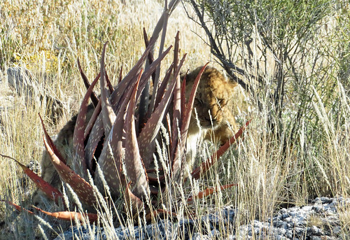 lion-cubs-hiding | by quirkytravelguy