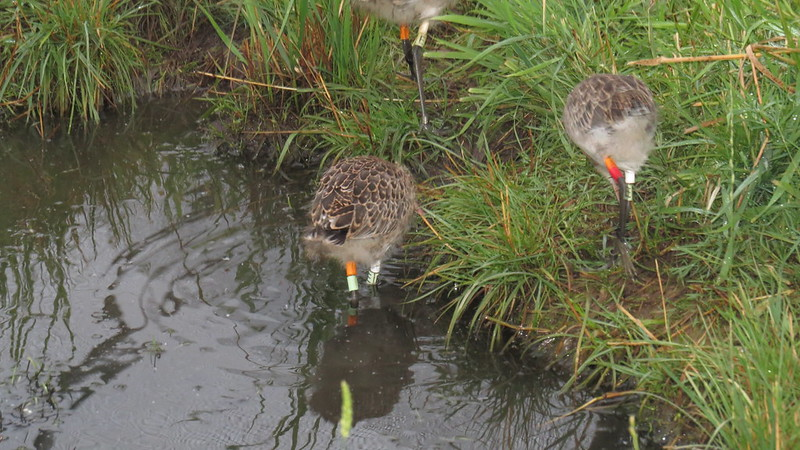 WE-LC-2018 Project Godwit chick OL-WL(E) and OR-WL(E)