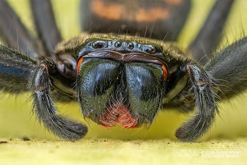 Huntsman spider (Damastes sp.) - DSC_7276   by nickybay