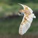 Barn Owl Hunting by Steve (Hooky) Waddingham