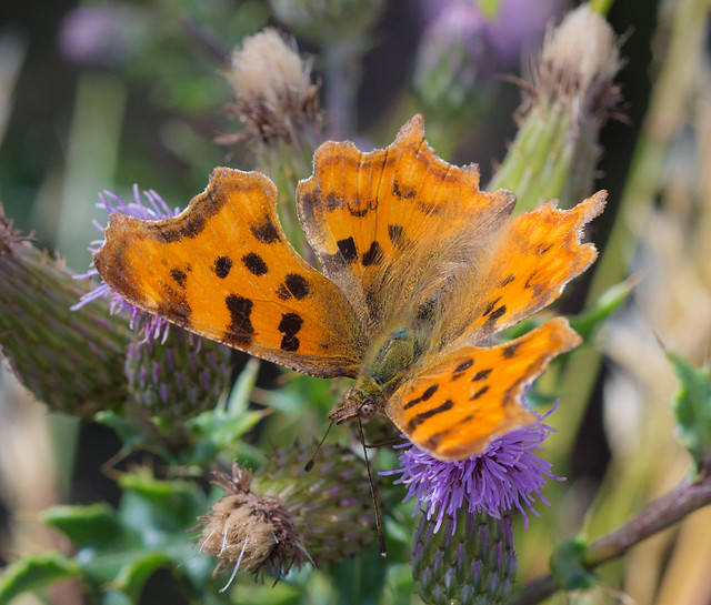 Comma butterfly wings outstretched 2