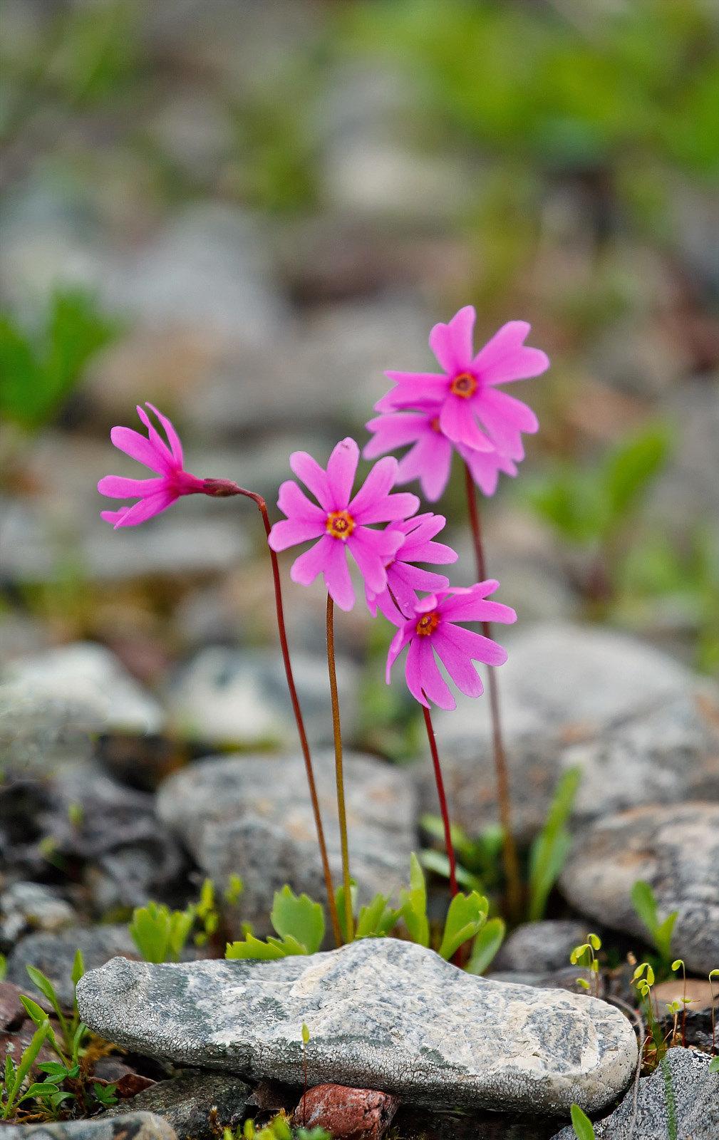 Wedgeleaf Primrose -(Primula cunefolia)