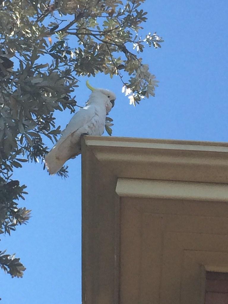 Cockatoo in Denistone NSw.