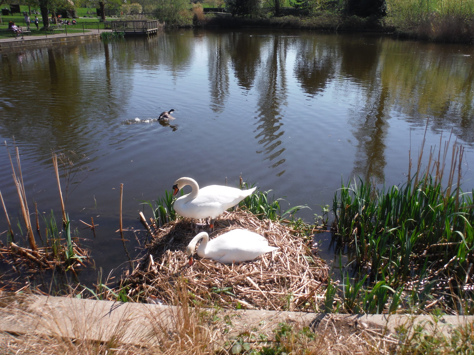 7 Eggs underneath, Swans in Pond 3 fed by Effra Tributary, Brockwell Park SWC Short Walk 39 - Brockwell Park (Herne Hill Circular or to Brixton)