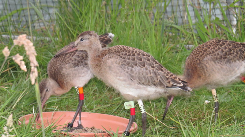 WE-LC-2018 Project Godwit chick LfR-WL(E) and OR-WL(E)