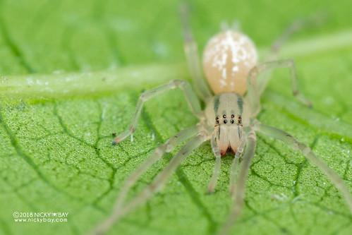 Sac spider (Cheiracanthium cf. leucophaeum) - DSC_6901 | by nickybay