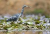 Egretta caerulea by Wildlife and nature - Colombia
