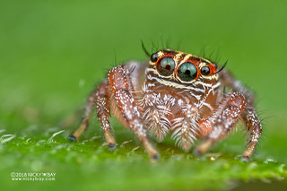 Jumping spider (Thyene sp.) - DSC_7291 | by nickybay