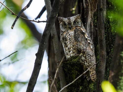 African Scops-Owl | by nickathanas