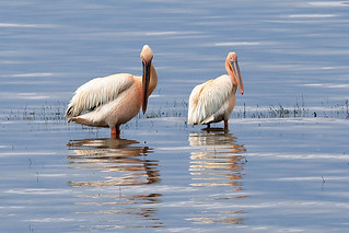 Great white pelican | by dmmaus