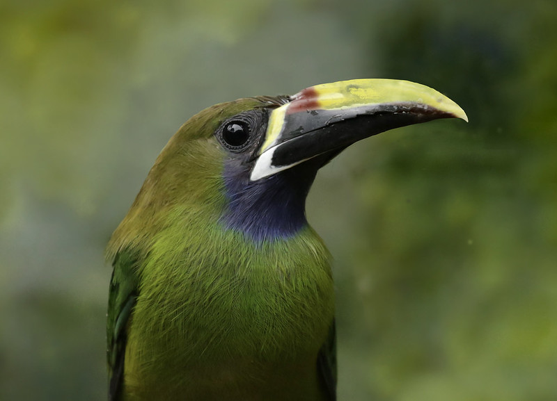 Northern Emerald-Toucanet, Aulacorhynchus prasinus_199A7204