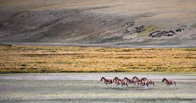Tibetan  Khyang or Gorkhar the largest of the wild donkeys, Tibet 2017