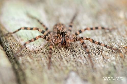 Wandering spider (Vulsor sp.) - DSC_6702 | by nickybay