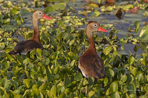 Black-bellied Whistling Ducks | by Stephen J Pollard (Loud Music Lover of Nature)