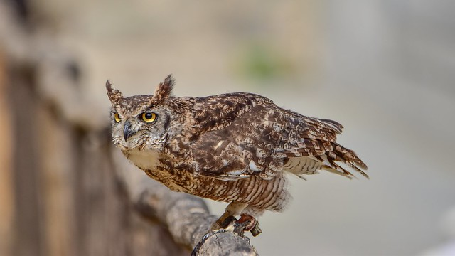 Owl fence Friday - 5660