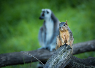 Squirrel and a Ring-tailed Lemur (Lemur catta) | by Wade Tregaskis