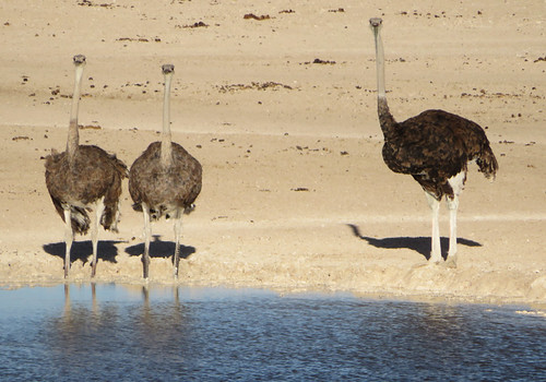 ostriches-drinking | by quirkytravelguy