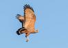 Savanna Hawk (2 of 2) by tickspics 