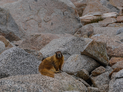 Fearless marmot that came within one foot of my sweaty back | by snackronym