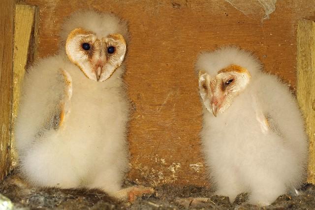 67. Barn Owl chicks (Tyto alba) 20.7.2018