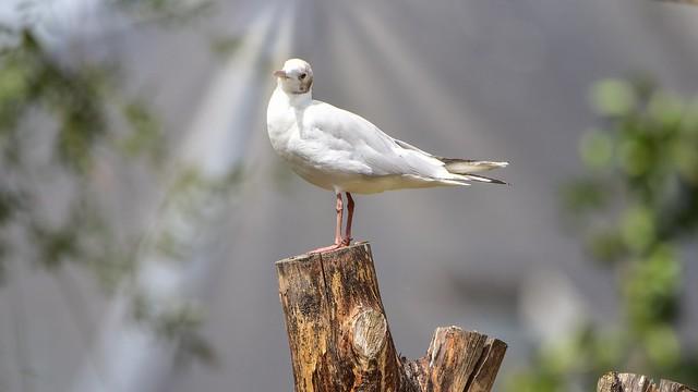 Seagull - 5659
