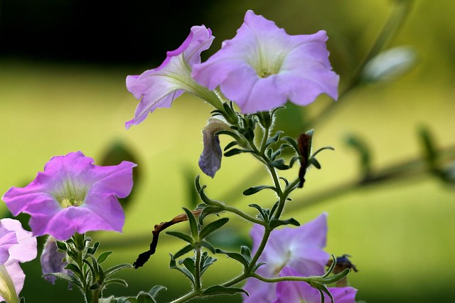 Purple Flowers, Morning light