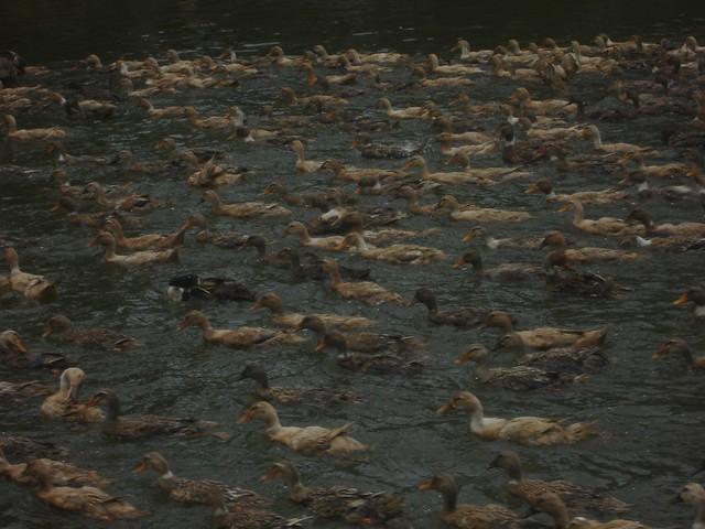 Ducks in the backwaters