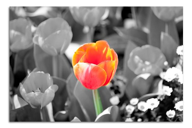 Colour Separated Tulip Flower