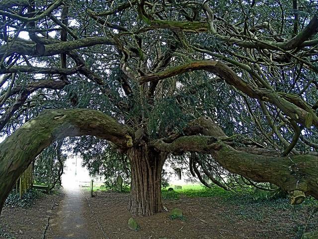 Venerable yew