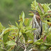 Flickr photo 'Green Heron (Butorides virescens)' by: Mary Keim.