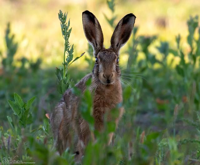 Very Alert Brown Hare