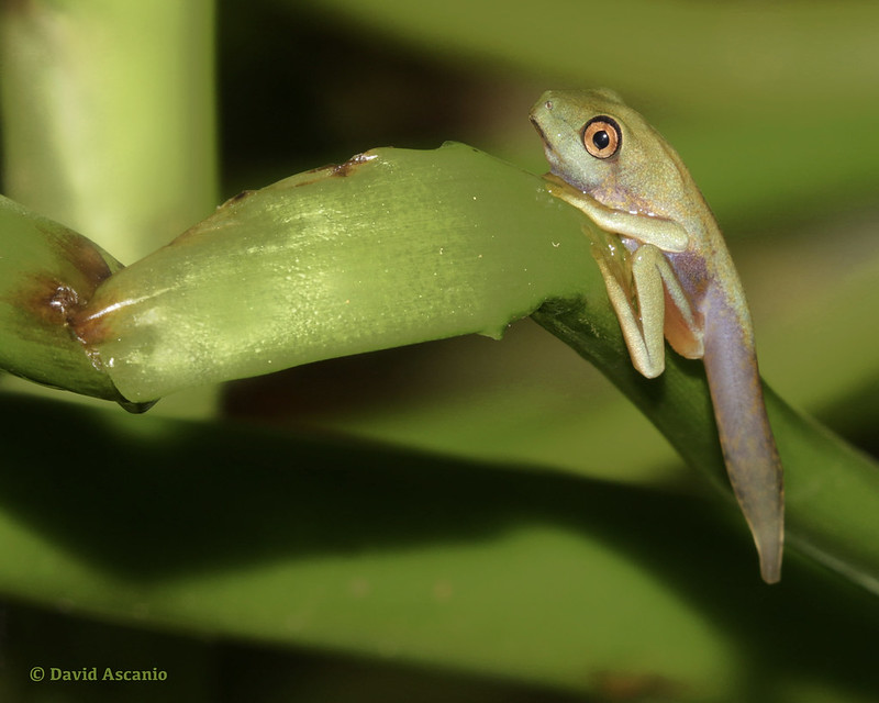 Red-eyed tree-frog, Agalychnis callidryas_199A5282
