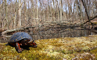 Spotted turtle (Clemmys guttata) | by phl_with_a_camera1