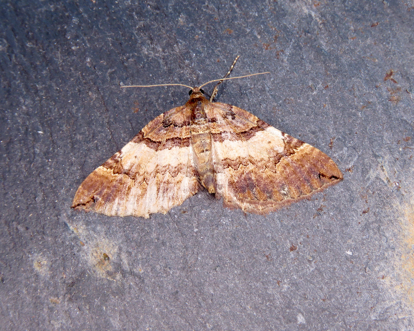 70.066 Shoulder Stripe - Earophila badiata