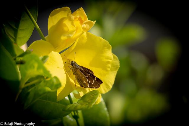 Butterfly.   black branded swift  -  Explored 24.07.18