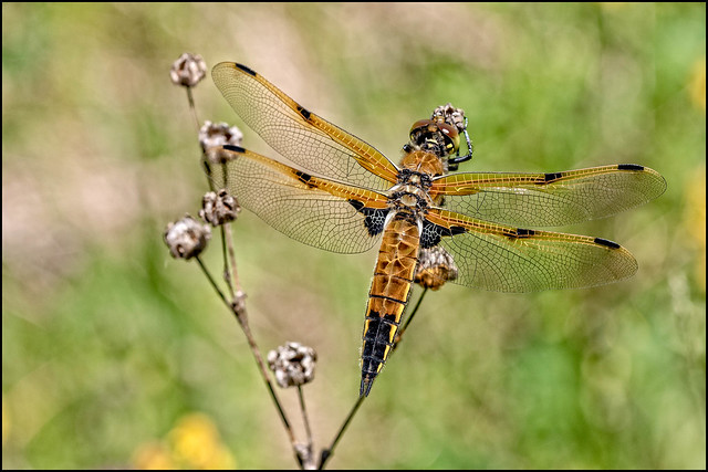 Male - Four-spotted Skimmer