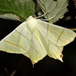 Holunderspanner (Swallow-tailed Moth, Ourapteryx sambucaria)