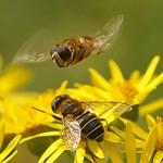 Mittlere Keilfleckschwebfliege (Medium Drone Fly, Eristalis interrupta), Männchen schwebt über einem Weibchen