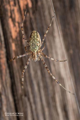 Hermit spider (Nephilingis livida) - DSC_7047 | by nickybay