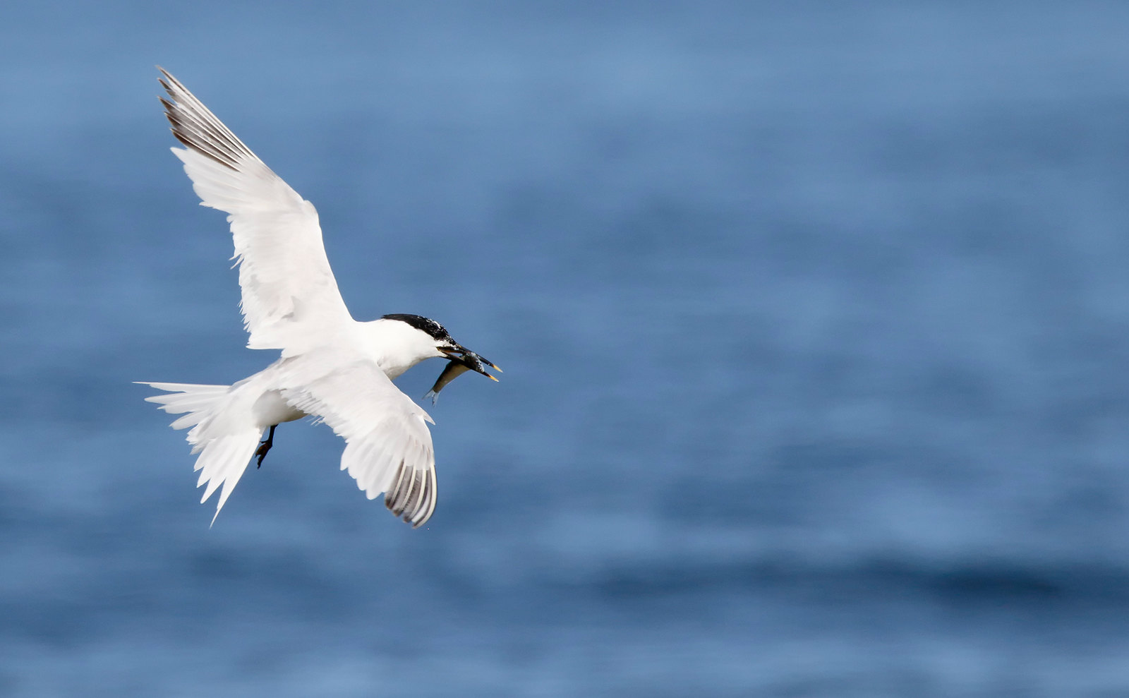 Sandwich Tern - worn adult