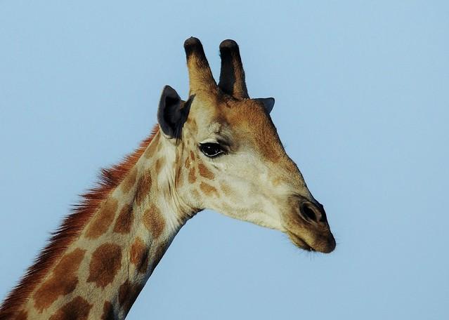Male South Africa Giraffe Portrait (Giraffa camelopardalis giraffa)