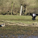Nilgänse (Alopochen aegyptiacus) im Deichbinnenland der Walsumer Rheinaue