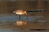 Bar tailed godwit - Limosa lapponica